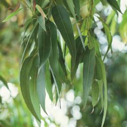 Eucalyptus - EO